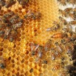 honey comb bees 150x150 To BEE or Not To BEE