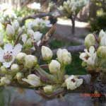 asian pear flowers 150x150 How To Grow & Care For An Asian Pear   Sunday In The Garden