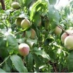White Peach Tree 150x150 How To: Grow & Care For   White Peach Tree